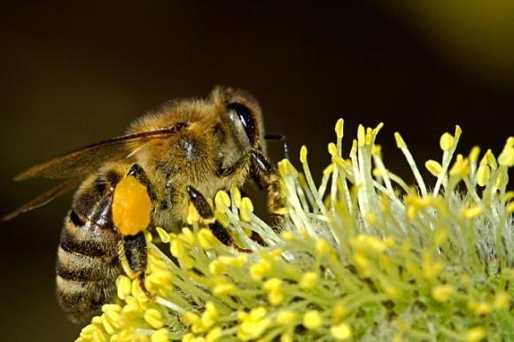 蜂毒はアナフィラキシーショックを引き起こす