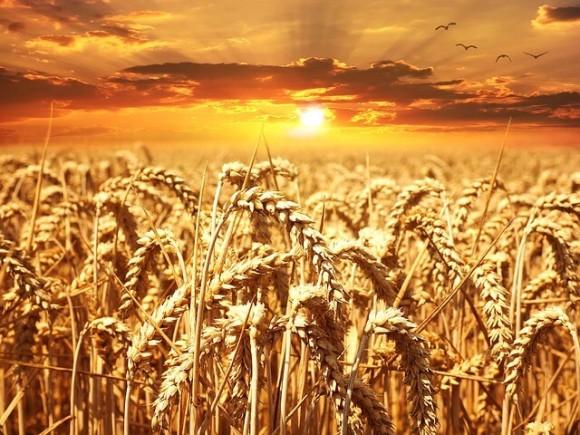 夕日の小麦畑